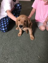 Goldn Retriever Puppy in Tacoma, Washington