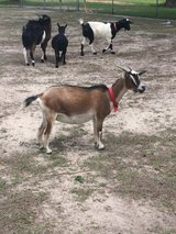 Pygmy Nannies and billy goats in Fort Polk, Louisiana