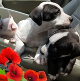 American Staffordshire Puppies for adoption! in Kingwood, Texas