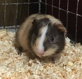 4.5 Week Old Baby Female Guinea Pig -- American -- super sweet! in Chicago, Illinois