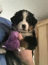 Bersese Mountain Dog Puppy For Adoption in Chicago, Illinois