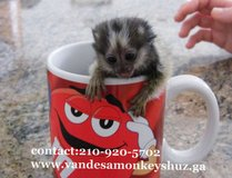 Free Baby pygmy Marmoset monkeys for adoption call/text in Jacksonville, Florida