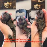 pygmy Marmoset monkeys for adoption call/text(210) 920-5702 in Jacksonville, Florida