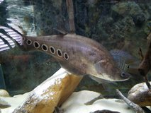Clown Knife Fish in Fort Knox, Kentucky