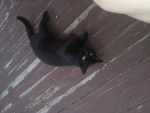 Free cat in Fort Drum, New York