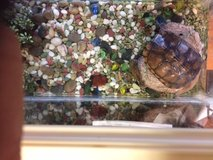 Turtle, Fresh Water with tank and many stones, Marbles etc to accessories. in Okinawa, Japan