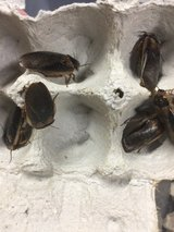 Adult male dubia roach feeders in Yucca Valley, California