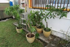 5 ceramic ots with large plants ( phone only ) in Okinawa, Japan