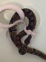 Blue eyed leucistic and Ball Python in Fort Benning, Georgia