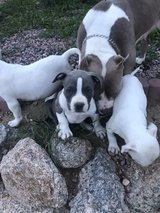 American bully in Colorado Springs, Colorado