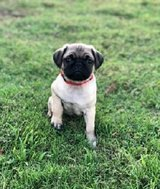 Adorable male and female Pug puppies REady to go for adoption to good pets homes. in Los Angeles, California