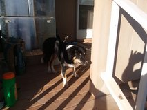 young cow dog in Alamogordo, New Mexico