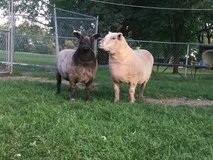 2 Southdown Babydoll Ewes in Chicago, Illinois