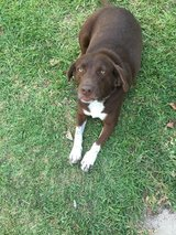Female Chocolate Lab mix in Conroe, Texas