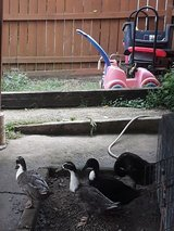 3 runner ducks in Joliet, Illinois