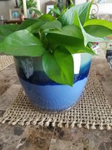 Pothos in  Blue Ceramic Planter in Fort Campbell, Kentucky