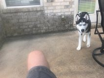 Due to a divorce, have to get rid of my baby's akc siberian husky and akc japanese chin in Fort Benning, Georgia