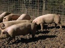 Butcher Hogs free delivery to the processor in Rolla, Missouri