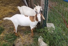 Nannie goats and babies in Perry, Georgia