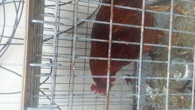 Selling a Rooster in Chicago, Illinois