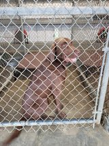 Need Dog Foster for 21 days. Save a life! All expenses covered by Rescue! in Leesville, Louisiana