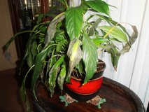 Indoor Plant with Decorative Pot in Ramstein, Germany
