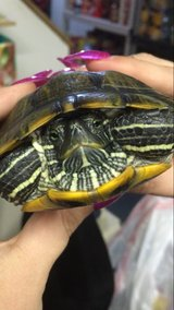 Red Eared Slider with 50 gal tank + more in Orland Park, Illinois