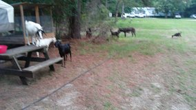 Farm animals in Beaufort, South Carolina