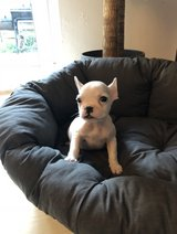 French Bulldog are looking for new home in Ramstein, Germany