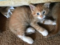 CUDDLY Kittens in Glendale Heights, Illinois
