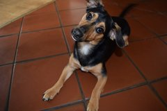 Dobby : 15 month old  Dachshund/mix dog in Ramstein, Germany