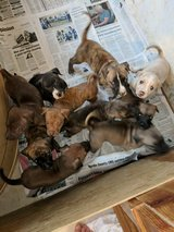 Puppies needing their forever Homes!! in Fort Knox, Kentucky