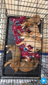 Foster Family needed ASAP! Five Shep/Boxer 5-6 weeks old puppies. in Leesville, Louisiana