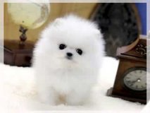 Priceless Male and female Pomeranian Pups_(317) 316-4692 in Dover AFB, Delaware