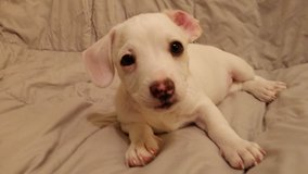 Dover - Chiweenie Mix Puppy in Fort Irwin, California