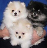 A K C Pomeranian puppies for all.(317) 316-4692 in Ruidoso, New Mexico