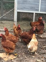 Hens for sale in Houston, Texas