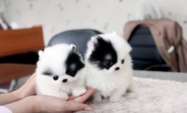 Two Tea Cup pomeranian Puppies for Adoption in MacDill AFB, FL