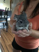 Baby Male chinchilla in Oswego, Illinois