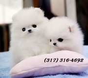 (FREE)Teacup Pomeranian Puppies for Adoption into Good homes Now in Melbourne, Florida