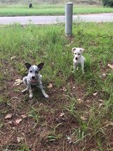 Need Foster for 2 puppies ASAP in Fort Polk, Louisiana