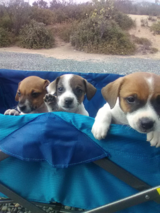 purebred jack russell pups in Camp Pendleton, California