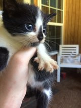 kittens in DeRidder, Louisiana