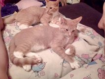 Free Half siemese kittens to good home! in Clarksville, Tennessee