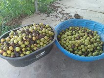 Walnuts in Fort Leonard Wood, Missouri