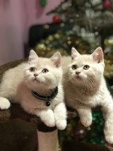 Adorable Scottish Fold Kittens in Los Angeles, California