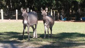 Zebra-donkey mix in Beaufort, South Carolina