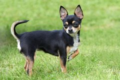 Wanted a small intact male chihuahua to breed with my female chihuahua immediately in Chicago, Illinois