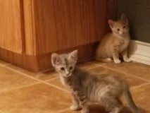 Kittens need puurfect families in Perry, Georgia