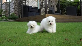 Bichon Frise in Los Angeles, California